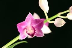 Πορφυρό orchid Στοκ φωτογραφία με δικαίωμα ελεύθερης χρήσης