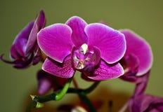 Πορφυρό orchid Στοκ εικόνες με δικαίωμα ελεύθερης χρήσης