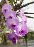 Πορφυρό orchid Στοκ φωτογραφίες με δικαίωμα ελεύθερης χρήσης