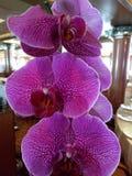 Πορφυρό orchid Στοκ Φωτογραφίες