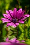 Πορφυρό Osteospermum Daisy ή λουλούδι της Daisy ακρωτηρίων Στοκ Εικόνες
