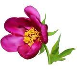 Πορφυρό peony λουλούδι Στοκ εικόνα με δικαίωμα ελεύθερης χρήσης