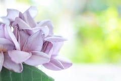Πορφυρό Plumeria (Frangipani) με το πράσινο φύλλο στο υπόβαθρο φύσης bokeh Στοκ Εικόνες
