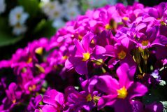 Πορφυρό primula στον κήπο Στοκ Εικόνες