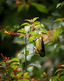 Πορφυρό Rumped Sunbird Στοκ φωτογραφία με δικαίωμα ελεύθερης χρήσης