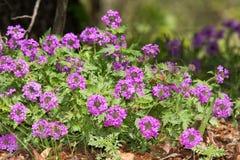 Πορφυρό Verbena Paririe ανάχωμα λουλουδιών την άνοιξη Στοκ Φωτογραφία
