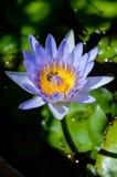 Πορφυρό waterlilly insunshine Στοκ Εικόνα