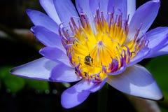 Πορφυρό waterlilly insunshine Στοκ Φωτογραφίες