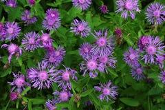 πορφυρό wildflower στοκ φωτογραφίες