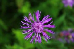 πορφυρό wildflower στοκ εικόνες με δικαίωμα ελεύθερης χρήσης