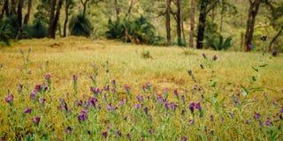 Πορφυρό Wildflowers κατά μήκος του ίχνους πεζοπορίας Numbat, Gidgegannup, δυτική Αυστραλία, Αυστραλία Στοκ εικόνα με δικαίωμα ελεύθερης χρήσης
