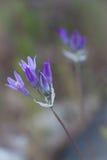 Πορφυρό Wildflowers Στοκ εικόνες με δικαίωμα ελεύθερης χρήσης