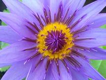 Πορφύρα άνθισης λουλουδιών Lotus στον κήπο στοκ εικόνα