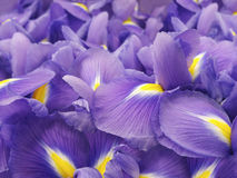 πορφύρα ίριδων λουλουδ&io όμορφος κήπος λουλουδιών λεπίδων ανασκόπησης closeup Στοκ Εικόνα