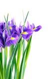 πορφύρα ίριδων λουλουδ&io Στοκ Εικόνες
