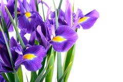 πορφύρα ίριδων λουλουδ&io Στοκ φωτογραφίες με δικαίωμα ελεύθερης χρήσης
