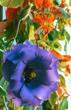 Πορφύρα λουλουδιών άνοιξη με τα μεγάλα όμορφα πέταλα Στοκ Εικόνα