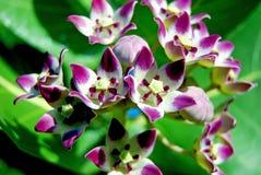 πορφύρα λουλουδιών παρ&alpha Στοκ φωτογραφία με δικαίωμα ελεύθερης χρήσης