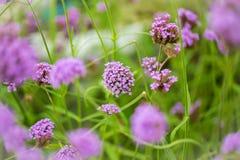 πορφύρα λουλουδιών Τα λουλούδια Limonium είναι επίσης γνωστά ως θάλασσα-lavender, στοκ φωτογραφία με δικαίωμα ελεύθερης χρήσης