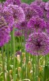 πορφύρα λουλουδιών Στοκ Φωτογραφίες