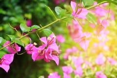 Πορφύρα λουλουδιών Bougainvillea με τα πράσινα φύλλα όμορφα στον κήπο Επιλέξτε το ρηχό βάθος εστίασης του τομέα Στοκ Φωτογραφίες