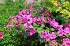 Πορφύρα λουλουδιών Bougainvillea με τα πράσινα φύλλα όμορφα στον κήπο Επιλέξτε το ρηχό βάθος εστίασης του τομέα Στοκ εικόνες με δικαίωμα ελεύθερης χρήσης
