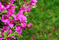 Πορφύρα λουλουδιών Bougainvillea με τα πράσινα φύλλα όμορφα στον κήπο Επιλέξτε το ρηχό βάθος εστίασης του τομέα Στοκ Εικόνες