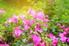 Πορφύρα λουλουδιών Bougainvillea με τα πράσινα φύλλα όμορφα στον κήπο Επιλέξτε το ρηχό βάθος εστίασης του τομέα Στοκ φωτογραφία με δικαίωμα ελεύθερης χρήσης