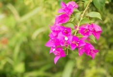 Πορφύρα λουλουδιών Bougainvillea με τα πράσινα φύλλα όμορφα στον κήπο Επιλέξτε το ρηχό βάθος εστίασης του τομέα Στοκ φωτογραφίες με δικαίωμα ελεύθερης χρήσης