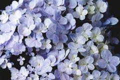 Πορφύρα λουλουδιών Hydrangea στο μαύρο υπόβαθρο Στοκ φωτογραφίες με δικαίωμα ελεύθερης χρήσης