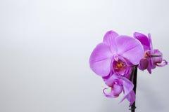Πορφύρα ορχιδεών Phalaenopsis λουλουδιών Στοκ εικόνα με δικαίωμα ελεύθερης χρήσης