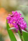 Πορφύρα λουλουδιών ορχιδεών Στοκ φωτογραφία με δικαίωμα ελεύθερης χρήσης