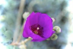 Πορφύρα λουλουδιών παπαρουνών Στοκ φωτογραφία με δικαίωμα ελεύθερης χρήσης