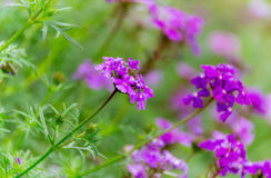 πορφύρα λουλουδιών Στοκ Φωτογραφία
