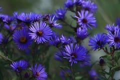 πορφύρα λουλουδιών Στοκ φωτογραφίες με δικαίωμα ελεύθερης χρήσης