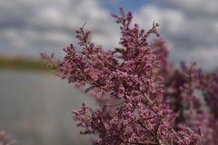 πορφύρα λουλουδιών Στοκ Εικόνες