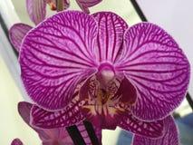 Πορφύρα λουλουδιών Orchidius Στοκ φωτογραφία με δικαίωμα ελεύθερης χρήσης