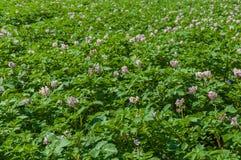 πορφύρα πατατών φυτών πεδίων άνθισης ζωηρόχρωμη Στοκ φωτογραφία με δικαίωμα ελεύθερης χρήσης