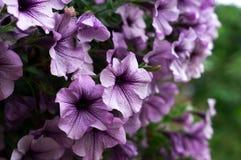 πορφύρα πετουνιών λουλουδιών Στοκ φωτογραφία με δικαίωμα ελεύθερης χρήσης