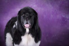 πορφύρα της νέας γης σκυλ& Στοκ Εικόνες
