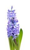 πορφύρα υάκινθων λουλο&ups στοκ εικόνες