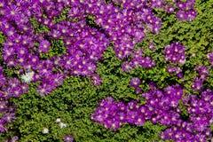 πορφύρα φυτών πάγου ανασκόπ στοκ εικόνες