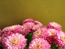 πορφύρα χρυσάνθεμων Όμορφο υπόβαθρο των φρέσκων φθινοπωρινών λουλουδιών Στοκ εικόνα με δικαίωμα ελεύθερης χρήσης