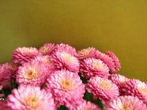 πορφύρα χρυσάνθεμων Όμορφο υπόβαθρο Στοκ φωτογραφία με δικαίωμα ελεύθερης χρήσης