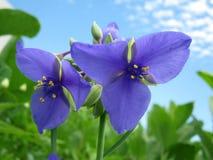 πορφύρα δύο λουλουδιών Στοκ Εικόνες