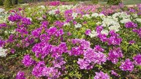 Πορφύρα bougainvillea λουλουδιών στον κήπο Στοκ εικόνα με δικαίωμα ελεύθερης χρήσης