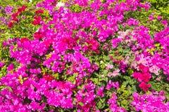 Πορφύρα bougainvillea λουλουδιών Στοκ Εικόνες