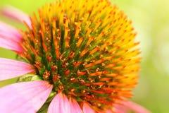 Πορφύρα Echinacea Ενιαίο λουλούδι, μακροεντολή Στοκ εικόνα με δικαίωμα ελεύθερης χρήσης