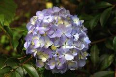 πορφύρα hydrangea λουλουδιών Στοκ εικόνα με δικαίωμα ελεύθερης χρήσης