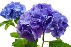 πορφύρα hydrangea λουλουδιών Στοκ Φωτογραφίες